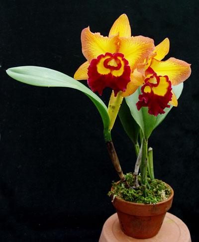 cattleya-orchid-plant.jpg