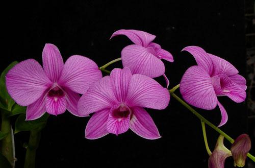 dendrobium-orchid-plant.jpg