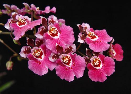 eq-oncidium-orchid-plant.jpg
