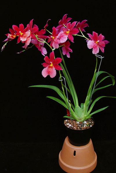 intergeneric-orchid-plant.jpg