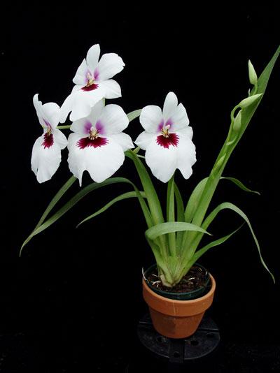 miltoniopsis-orchid-plant.jpg