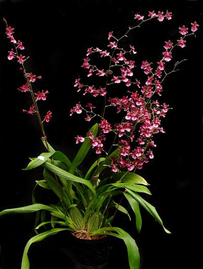 oncidium-orchid-plant.jpg
