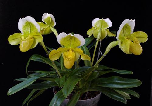 paphiopedilum-orchid-plant.jpg