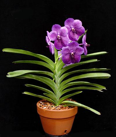 vanda-orchid-plant.jpg